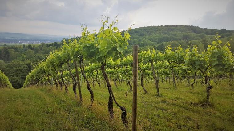 Vineyard in Rheingau on a grey Spring day
